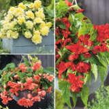 Begonia Illumination Collection 1 X 3 Tubers