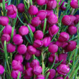 Boronia Plum Bells (pbr)