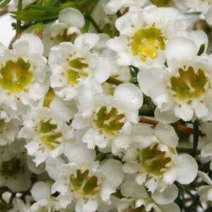 Chamelaucium Wax Flower Chantilly Lace