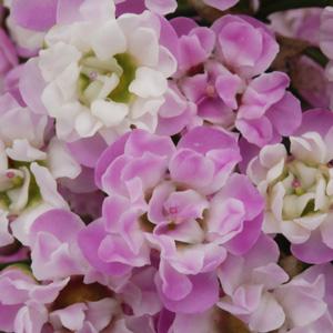 Chamelaucium Wax Flower Dancing Queen (pbr)