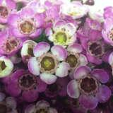 Chamelaucium Wax Flower Dees Delight (pbr)