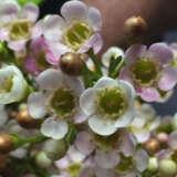 Chamelaucium Wax Flower Marshmallow Delight (pbr)