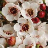 Chamelaucium Wax Flower Moonlight Delight (pbr)