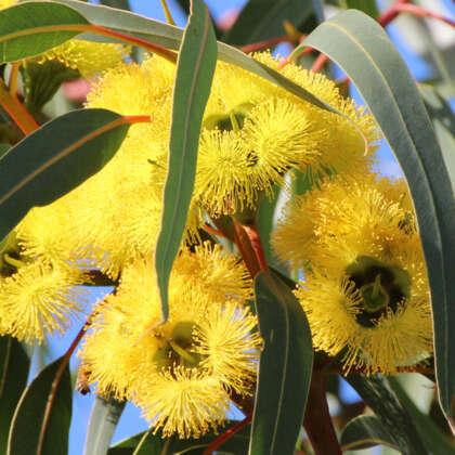 Eucalyptus Stricklandii