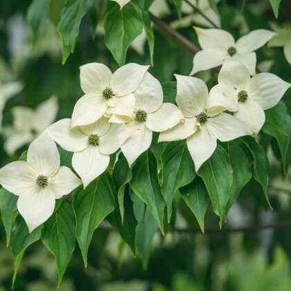 Evergreen Dogwood