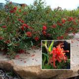 Grevillea Cherry Cluster (pbr)
