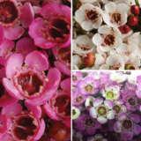 Gurus Chamelaucium Wax Flower Collection
