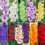 Gladioli Ultimate Collection Colglauco - Garden Express Australia