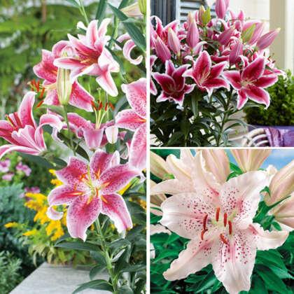 Lilium Oriental Pot Collection