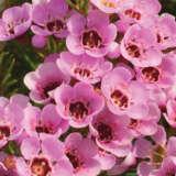 Chamelaucium Wax Flower Kerryn (pbr)