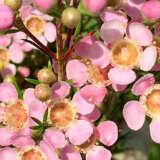 Chamelaucium Wax Flower Strawberry Surprise (pbr)