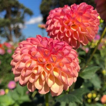 Dahlia Little Peaches