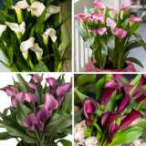 Gurus Calla Lily Collection