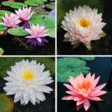 Gurus Water Lily Collection 4 Plants