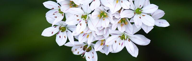 Header Allium Bridal Mist - Garden Express Australia