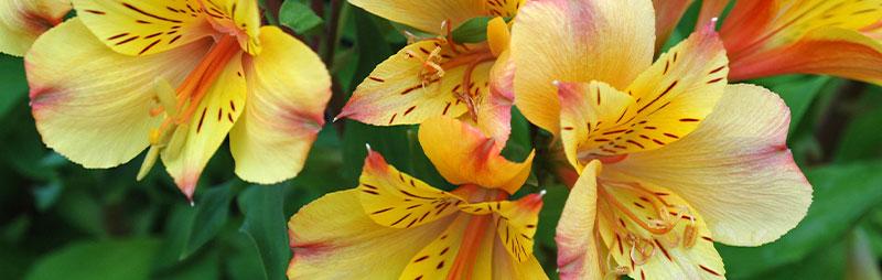 Header Alstroemeria - Garden Express Australia