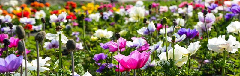 Header Anemones - Garden Express Australia