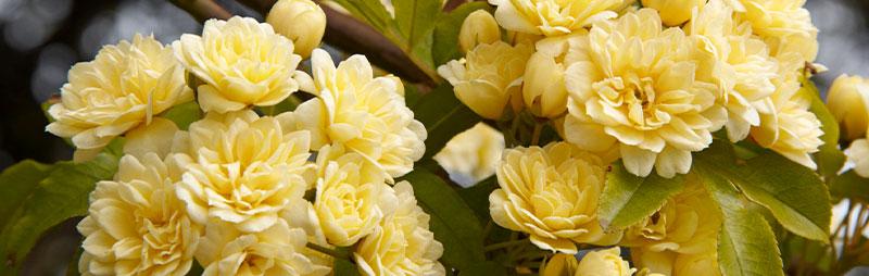 Header Banksia Rose - Garden Express Australia