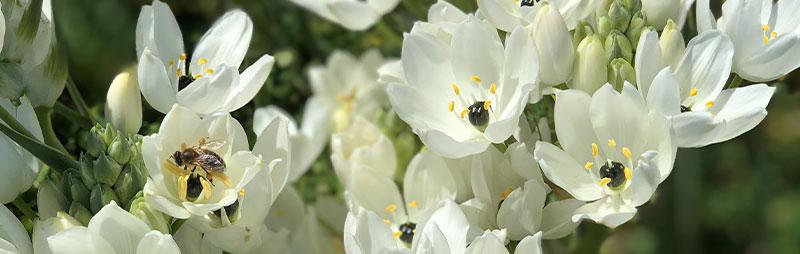 Header Black Pearl Lily