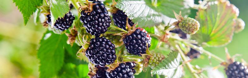 Header Blackberry - Garden Express Australia