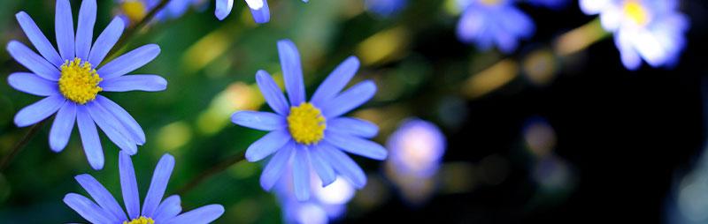 Header Blue Marguerite - Garden Express Australia