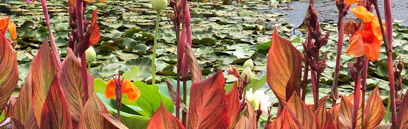 Header Canna Lily - Garden Express Australia
