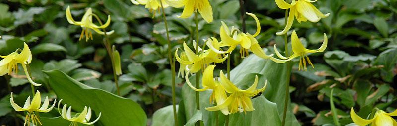 Header Erythronium - Garden Express Australia
