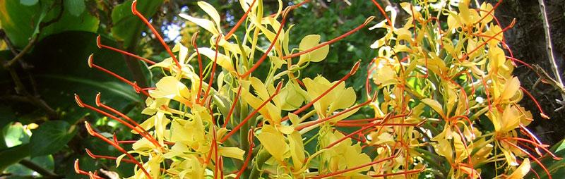 Header Ginger Lily - Garden Express Australia