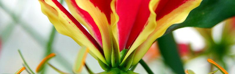 Header Gloriosa Lily