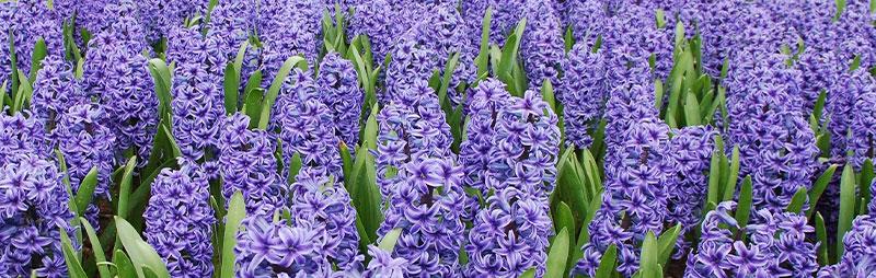 Header Hyacinth - Garden Express Australia