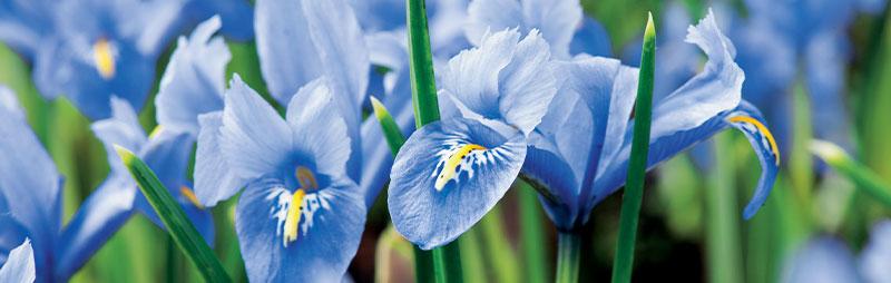Header Iris Reticulata