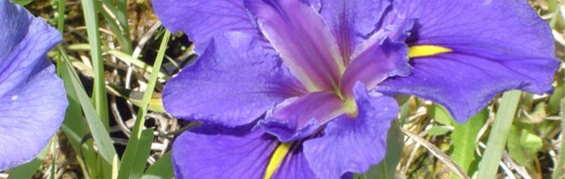 Header Louisiana Iris