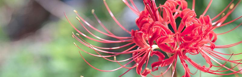 Header Lycoris - Garden Express Australia