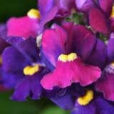 Nemesia Escential Bumbleberry
