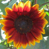 Seed – Sunflower Royal Velvet F1
