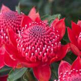 Telopea  Enchanted Red