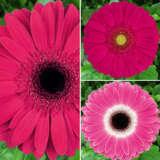 Gerbera Pretty N Pink Coll 2021 Colgerpnp - Garden Express Australia