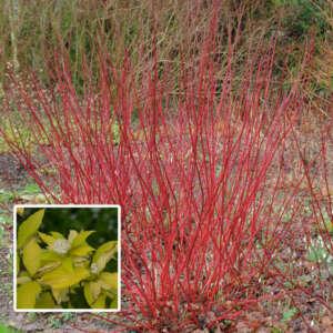 Cornus Sunshine Dogwood Pplcorssd - Garden Express Australia