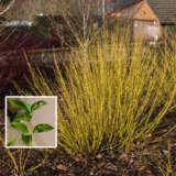 Cornus Yellow Stem Dogwood