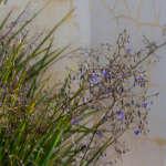 Dianella Longifolia Lpodialon - Garden Express Australia