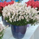 Diascia Aurora Cherry Blossom