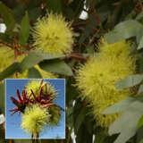 Eucalyptus Summer Scentsation