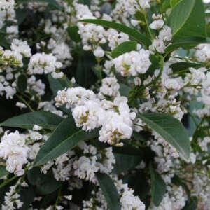 Hardenbergia Snow White Lpoharswh - Garden Express Australia