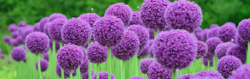 Header Allium Gigantium - Garden Express Australia