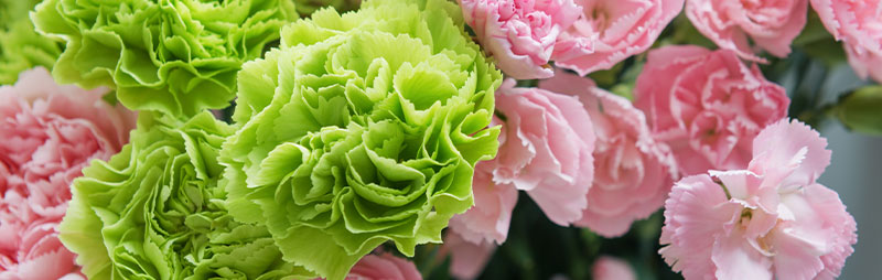 Header Carnation