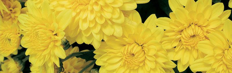 Header Chrysanthemum