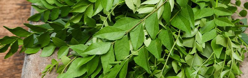 Header Curry Leaf Tree