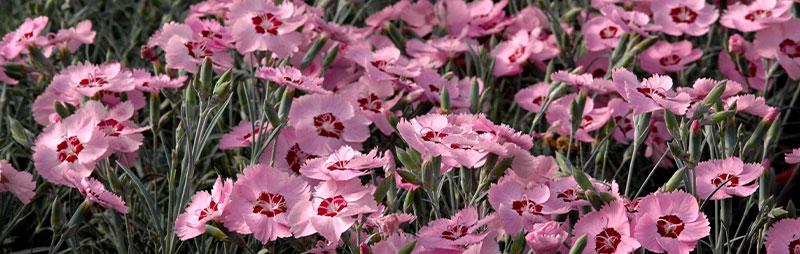 Header Dianthus - Garden Express Australia
