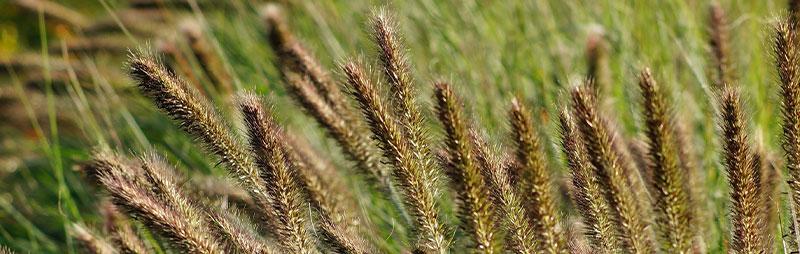 Header Fountain Grass - Garden Express Australia