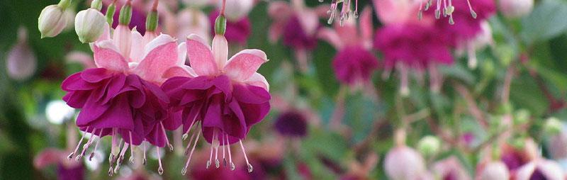 Header Fuchsia - Garden Express Australia